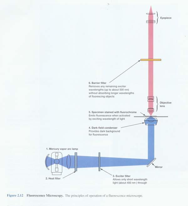 荧光显微镜检测原理及方法
