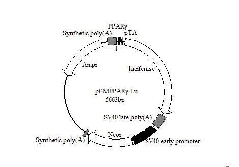 素酶报告基因质粒