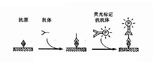 图17-2 间接免疫荧光法原理示意图